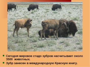 Сегодня мировое стадо зубров насчитывает около 3500 животных. Зубр занесен в