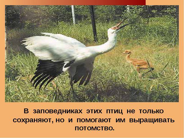 В заповедниках этих птиц не только сохраняют, но и помогают им выращивать по...