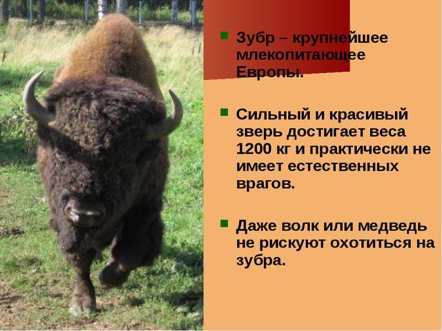 Зубр – крупнейшее млекопитающее Европы. Сильный и красивый зверь достигает ве...