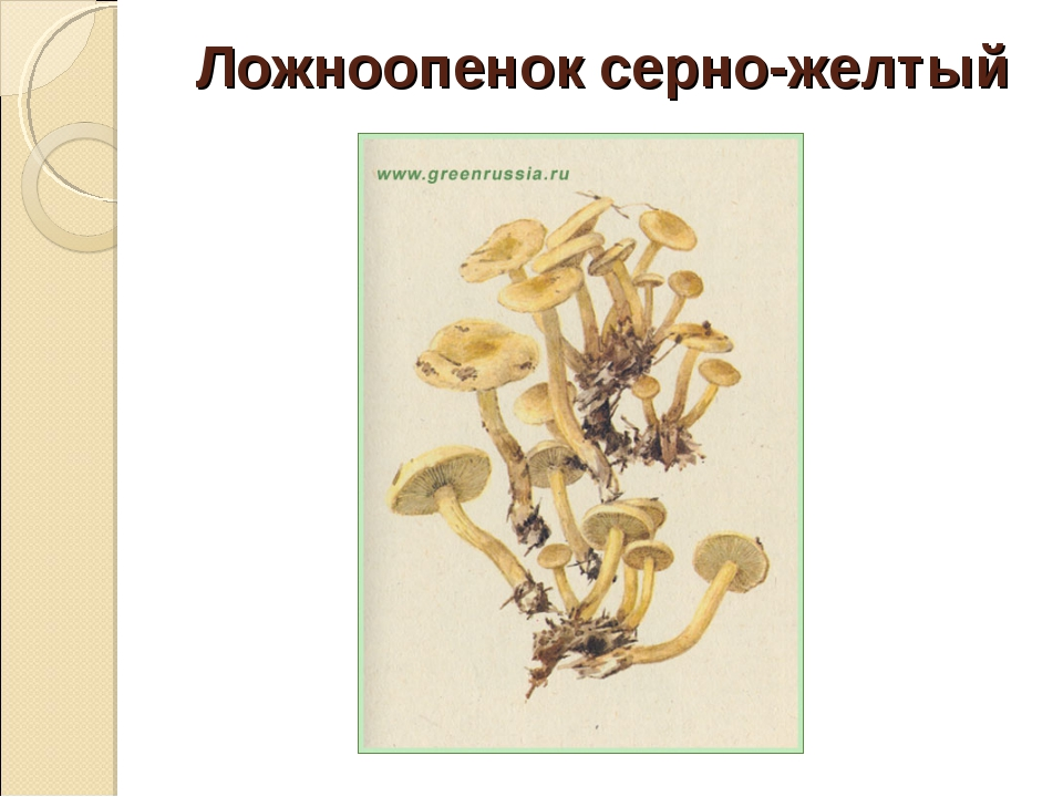 Ложноопенок серно-желтый