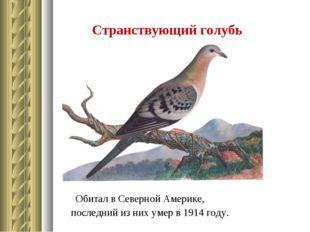 Странствующий голубь Обитал в Северной Америке, последний из них умер в 1914