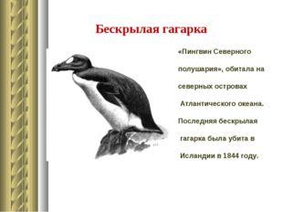 Бескрылая гагарка «Пингвин Северного полушария», обитала на северных островах