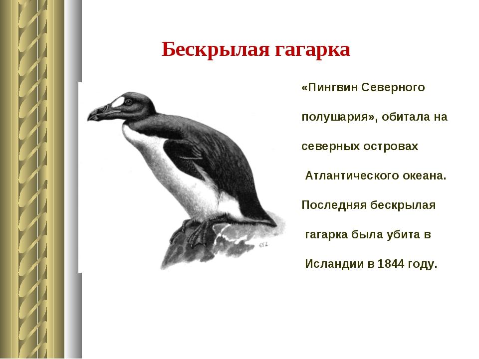 Бескрылая гагарка «Пингвин Северного полушария», обитала на северных островах...