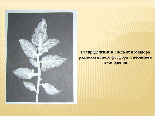 Распределение в листьях помидора радиоактивного фосфора, внесенного в удобрения