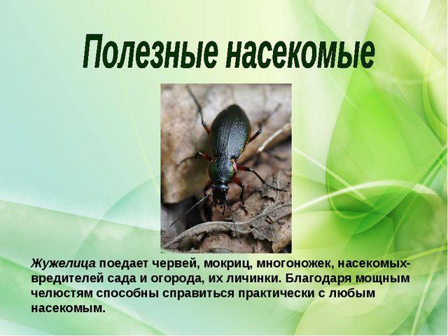 Жужелицапоедает червей, мокриц, многоножек, насекомых-вредителей сада и огор...