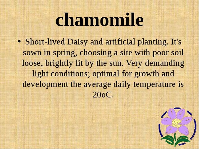 chamomile Short-lived Daisy and artificial planting. It's sown in spring, cho...