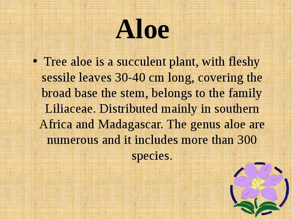 Aloe Tree aloe is a succulent plant, with fleshy sessile leaves 30-40 cm long...