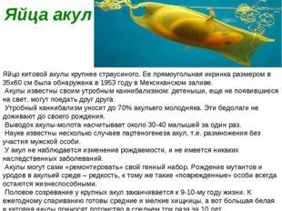 Яйца акул Яйцо китовой акулы крупнее страусиного. Ее прямоугольная икринка ра