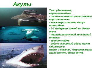 Акулы Тело удлиненное, веретеновидное - парные плавники расположены горизонт