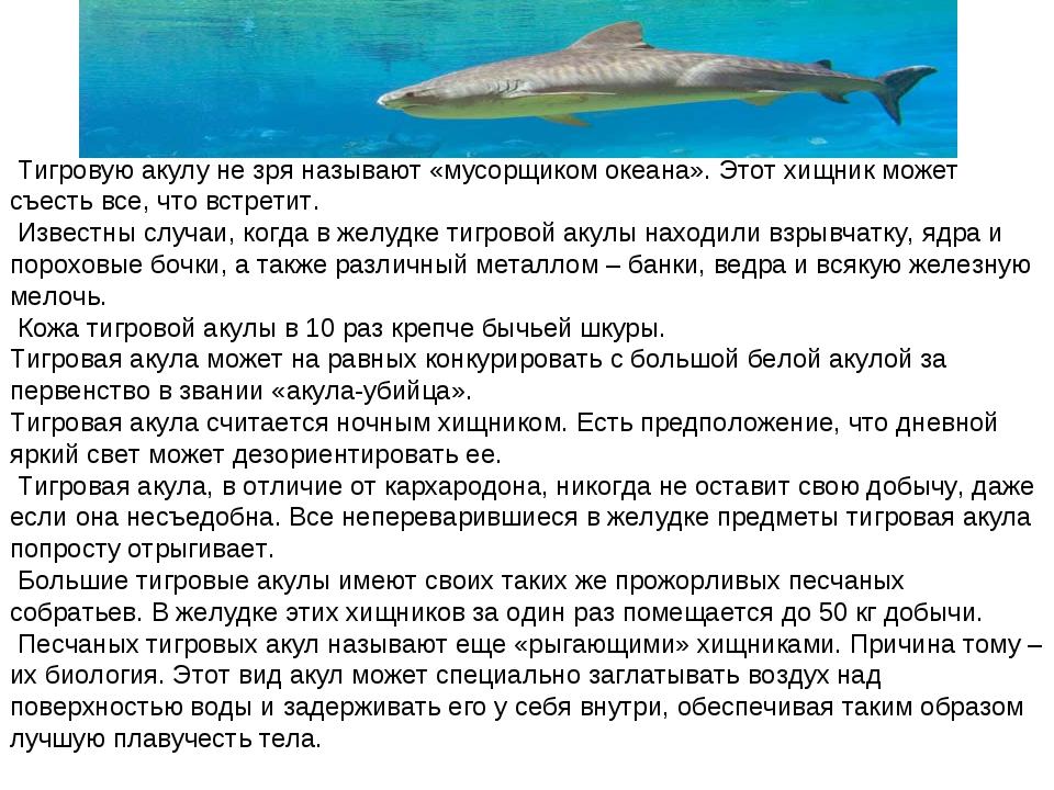 Тигровую акулу не зря называют «мусорщиком океана». Этот хищник может съесть...