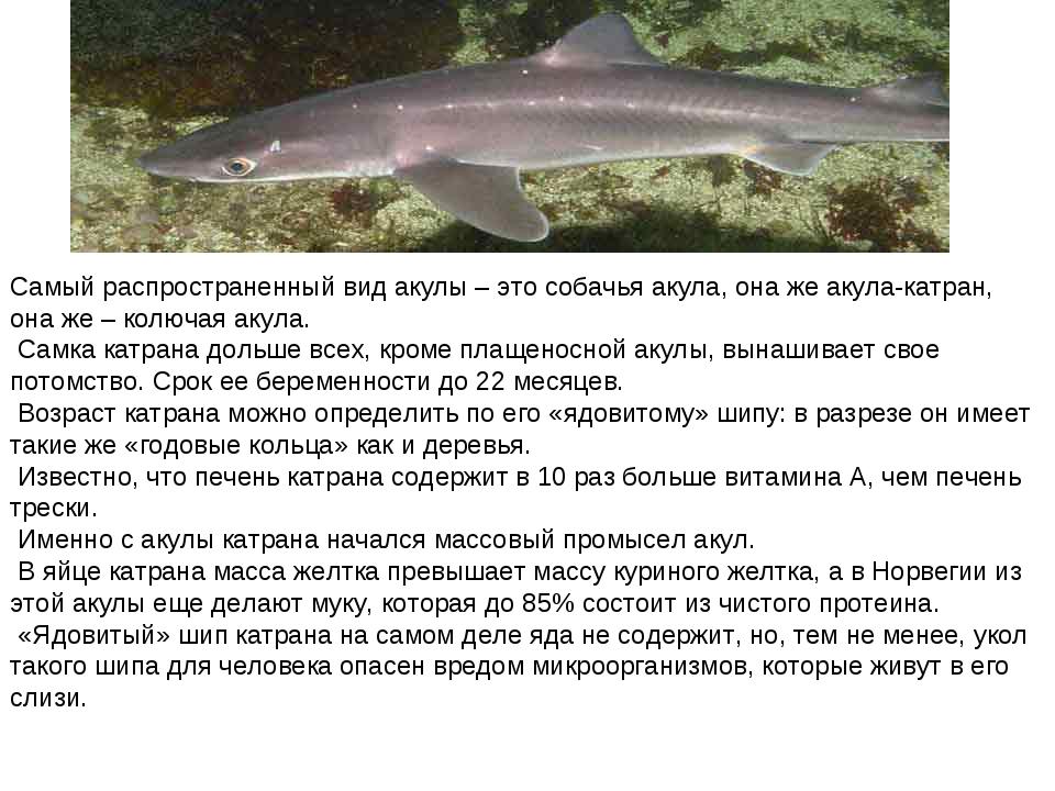 Самый распространенный вид акулы – это собачья акула, она же акула-катран, он...