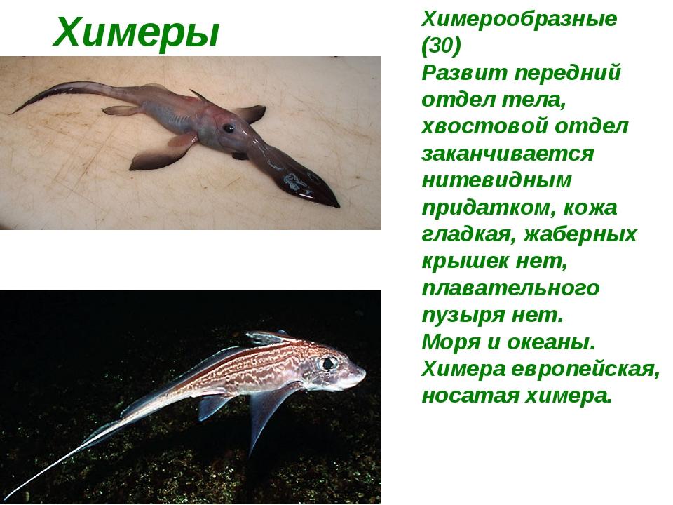Химеры Химерообразные (30) Развит передний отдел тела, хвостовой отдел заканч...