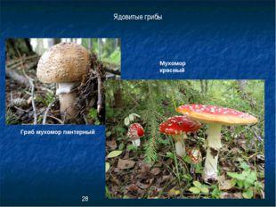 Гриб мухомор пантерный Мухомор красный Ядовитые грибы 28