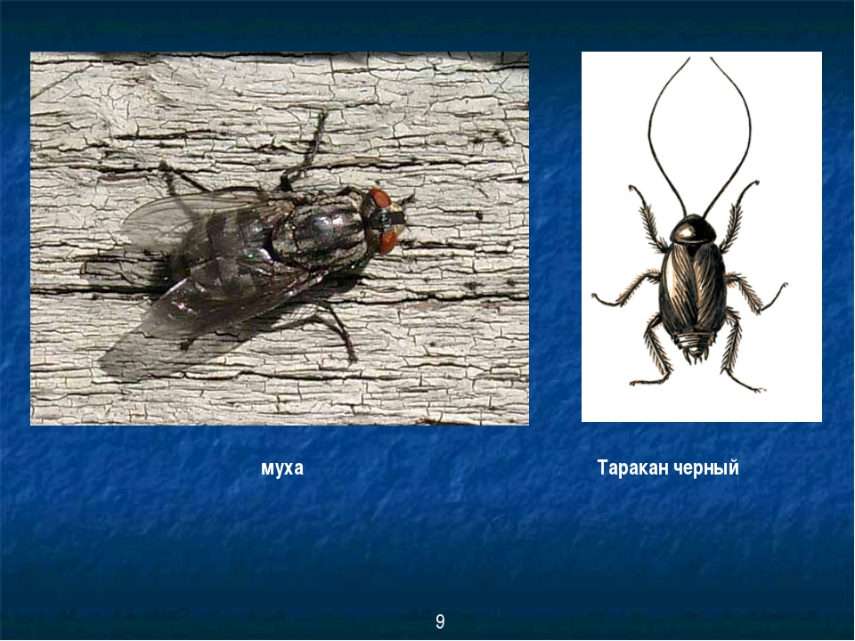 муха Таракан черный 9