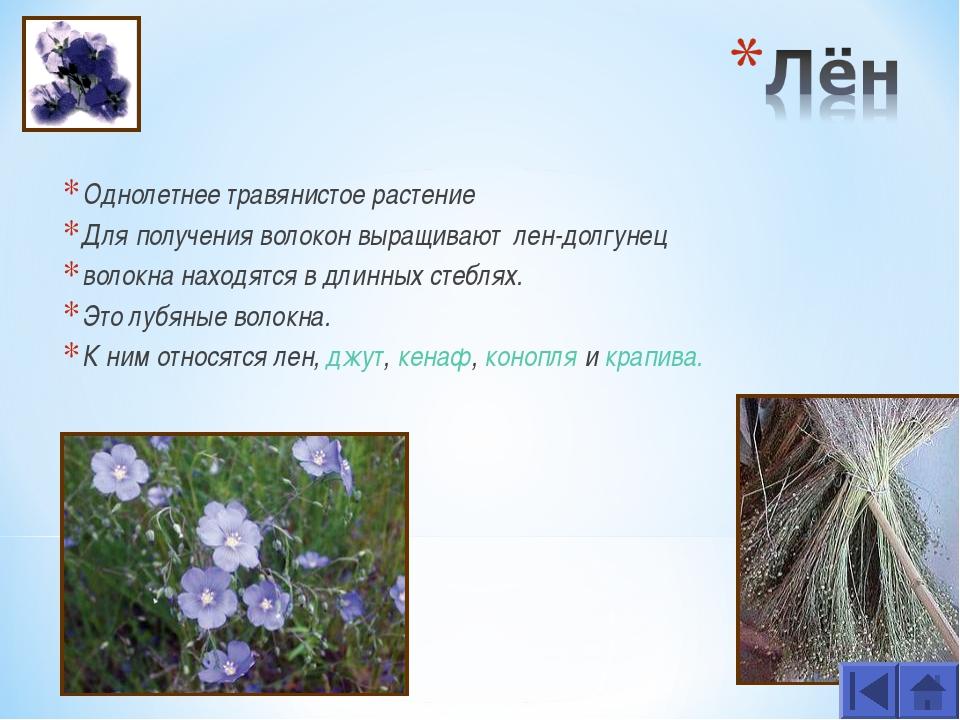 Однолетнее травянистое растение Для получения волокон выращивают лен-долгунец...