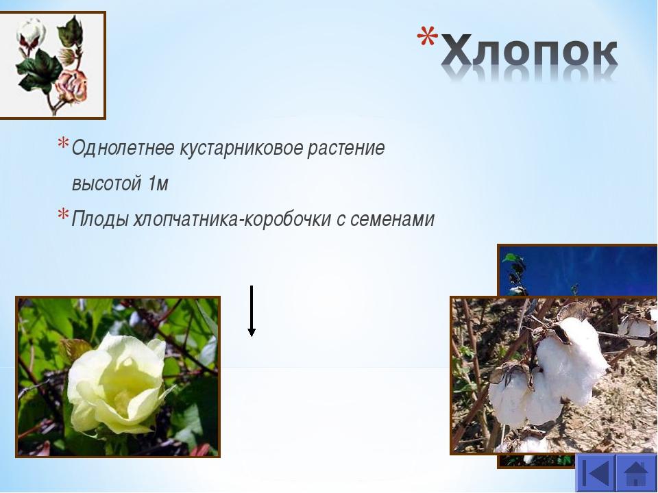 Однолетнее кустарниковое растение высотой 1м Плоды хлопчатника-коробочки с се...