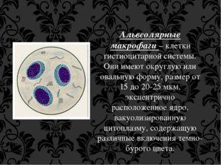 Альвеолярные макрофаги – клетки гистиоцитарной системы. Они имеют округлую ил