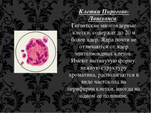 Клетки Пирогова-Лангханса. Гигантские многоядерные клетки, содержат до 20 и б