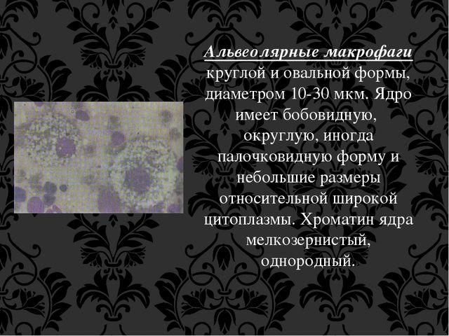 Альвеолярные макрофаги круглой и овальной формы, диаметром 10-30 мкм. Ядро им...