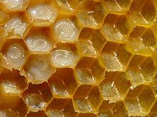 https://upload.wikimedia.org/wikipedia/commons/thumb/3/37/Bienenwabe_mit_Eiern_und_Brut_5.jpg/220px-Bienenwabe_mit_Eiern_und_Brut_5.jpg