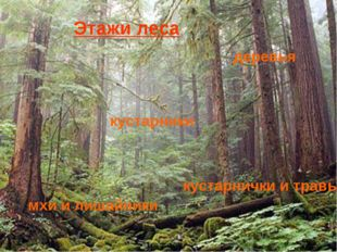 Лесные этажи Деревья Кустарники Кустарнички и травы Мхи и лишайники деревья к