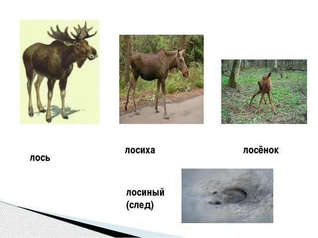 лось лосиха лосёнок лосиный (след)