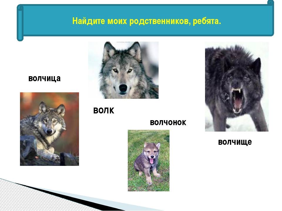 Найдите моих родственников, ребята. волк волчица волчонок волчище