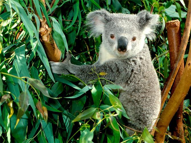 E:\1291384378_25_koalalar__15.jpg