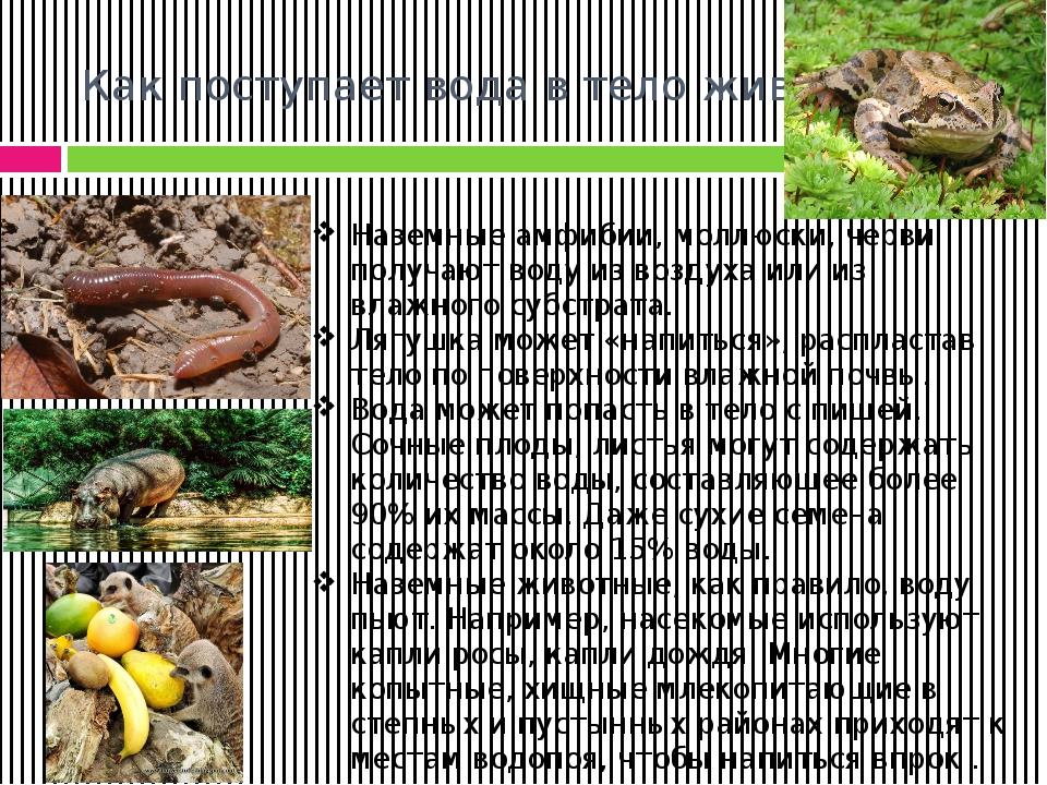 Как поступает вода в тело животного? Наземные амфибии, моллюски, черви получа...