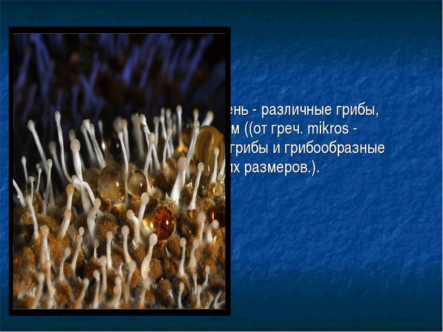 Плесневые грибы, или плесень- различные грибы, относящиеся к микромицетам ((...