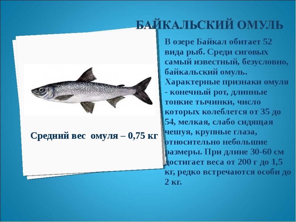 В озере Байкал обитает 52 вида рыб. Среди сиговых самый известный, безусловно...