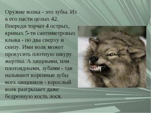 Оружие волка - это зубы. Их в его пасти целых 42. Впереди торчат 4 острых, кр