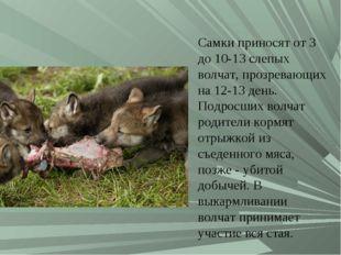 Самки приносят от 3 до 10-13 слепых волчат, прозревающих на 12-13 день. Подро