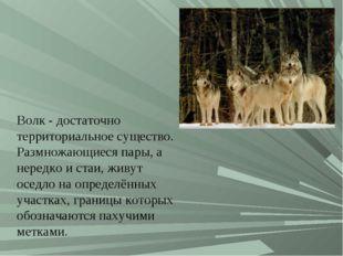 Волк- достаточно территориальное существо. Размножающиеся пары, а нередко и