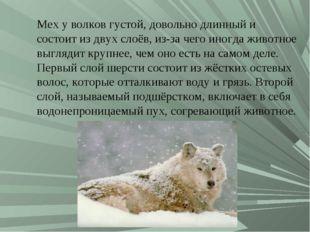 Мех у волков густой, довольно длинный и состоит из двух слоёв, из-за чего ино