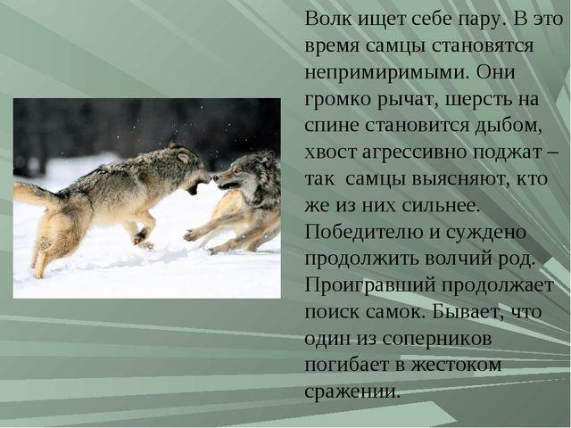 Волк ищет себе пару. В это время самцы становятся непримиримыми. Они громко р...