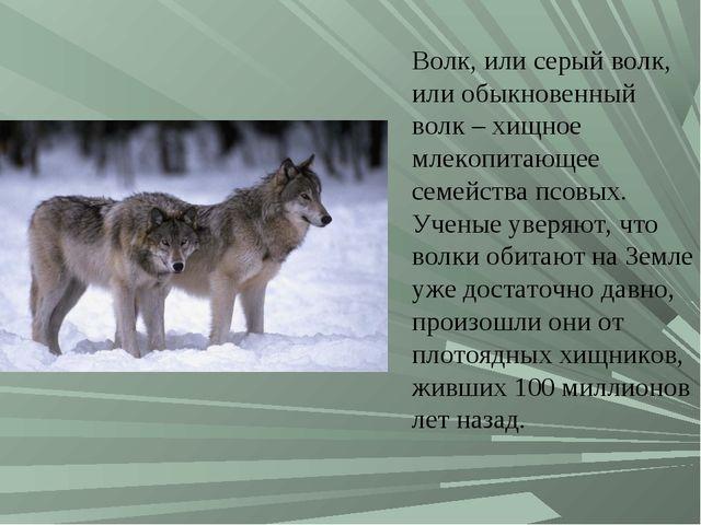 Волк, или серый волк, или обыкновенный волк – хищное млекопитающее семейства...