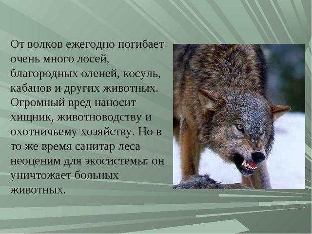 От волков ежегодно погибает очень много лосей, благородных оленей, косуль, ка...