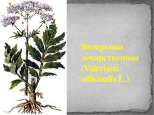 Валерьяна лекарственная (Valeriana officinalis L.)