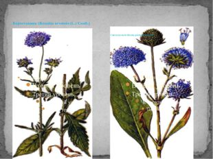 Короставник (Knautia arvensis (L.) Coult.) Сивец луговой (Succisa pratensis M