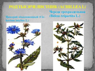 Цикорий обыкновенный (Cic-horium intybus L.) РОД ТЫСЯЧЕЛИСТНИК (ACHILLEA L) Ч