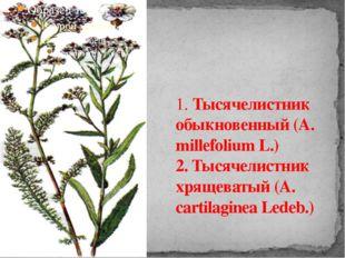 1. Тысячелистник обыкновенный (A. millefolium L.) 2. Тысячелистник хрящеватый