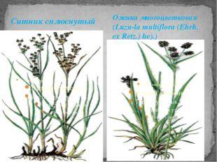 Ситник сплюснутый Ожика многоцветковая (Luzu-la multiflora (Ehrh. ex Retz.) h