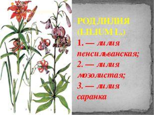 РОД ЛИЛИЯ (LILIUM L.) 1. — лилия пенсильванская; 2. — лилия мозолистая; 3. —