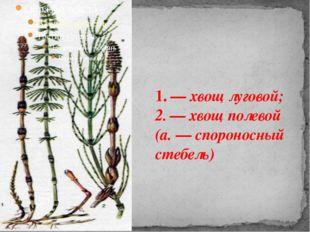 1. — хвощ луговой; 2. — хвощ полевой (а.—спороносный стебель)