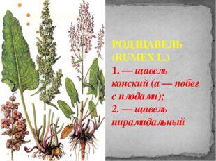 РОД ЩАВЕЛЬ (RUMEX L.) 1. — щавель конский (а — побег с плодами); 2. — щавель