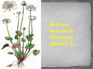 Белозор болотный (Parnassia palustris L.)