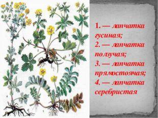 1. — лапчатка гусиная; 2. — лапчатка ползучая; 3. — лапчатка прямостоячая; 4.