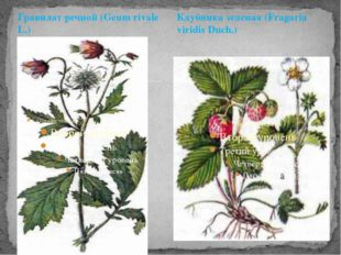 Гравилат речной (Geum rivale L.) Клубника зеленая (Fragaria viridis Duch.)