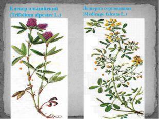 Клевер альпийский (Trifolium alpestre L.) Люцерна серповидная (Medicago falca